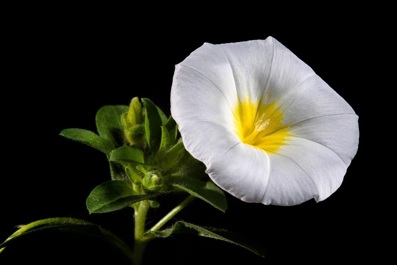 White Blossom on Black Background