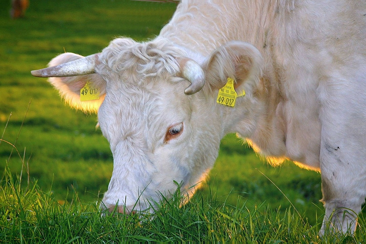 White Cow Eating Grass